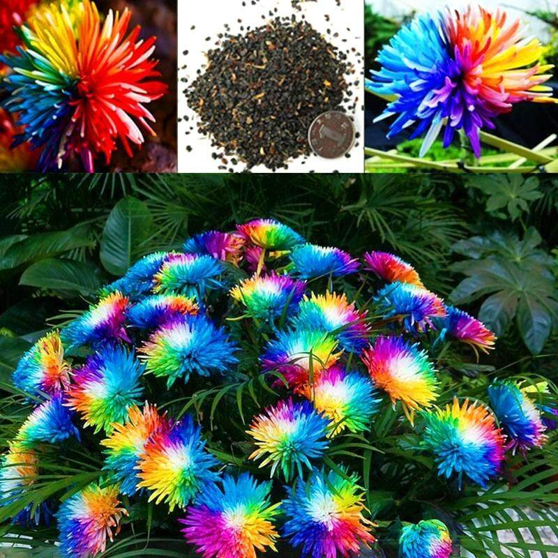 New 100pcs Pretty Flower Seeds Rainbow Chrysanthemum Seeds Bonsai Garden