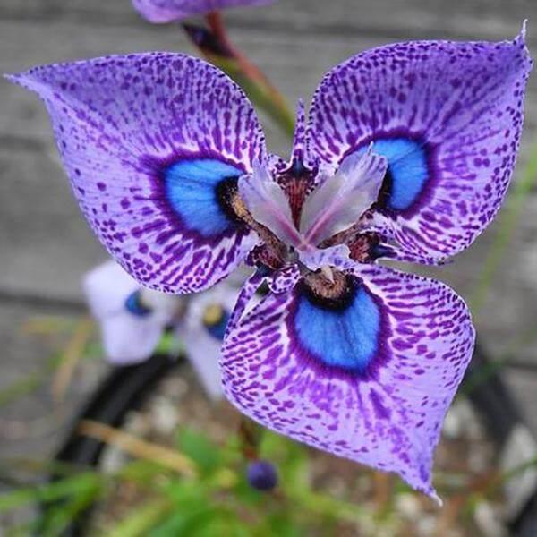 3x Purple Spot Phalaenopsis Orchid Flower Seeds- LOCAL READY STOCKS