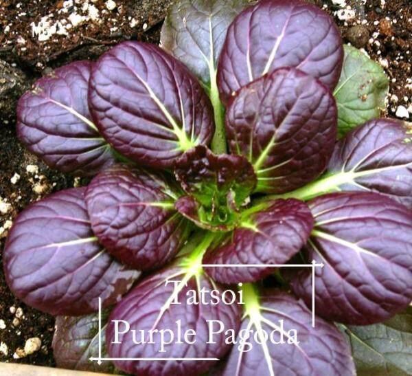 *Easy* Organic Tatsoi Purple seeds - 200 seed *Pot Friendly* Benih sayur sayuran Sesuai Untuk Pasu