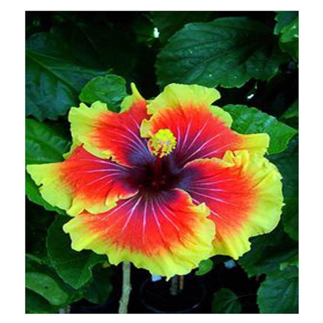 3x Orange Core Yellow Hibiscus Flower Seeds- LOCAL READY STOCKS