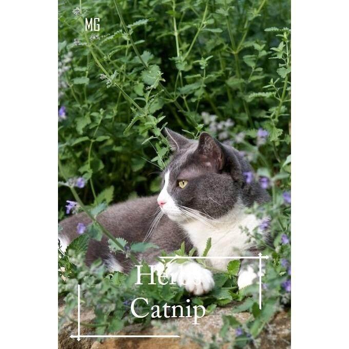 Organic Catnip Herbs seeds - 50 seed
