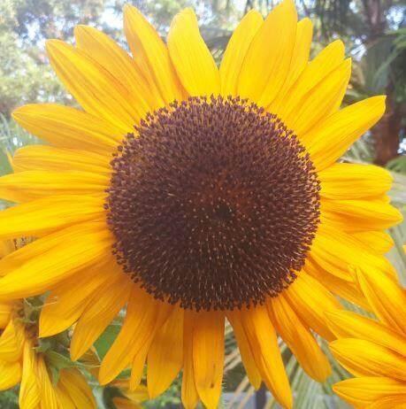 Sunflower seeds Bunga Matahari 太阳花种子 30 seeds