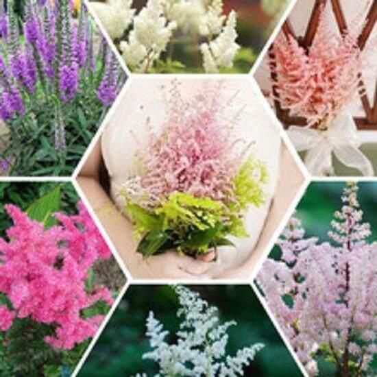 3x Astilbe Flower Seeds- LOCAL READY STOCKS