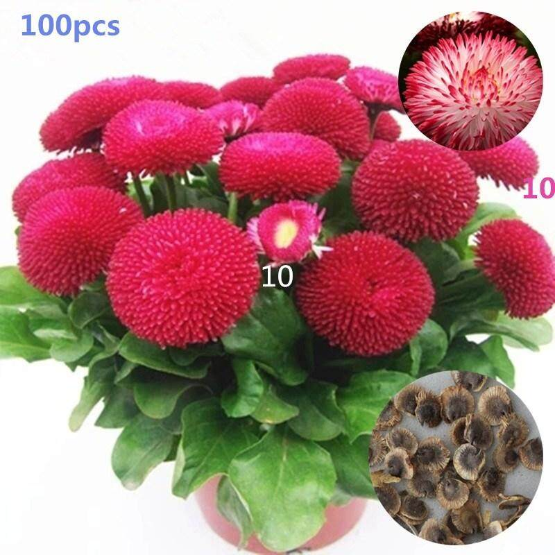 100PCS Daisy Seeds Potted Four Seasons Easy Indoor Balcony Flower Seed Home Garden Flower