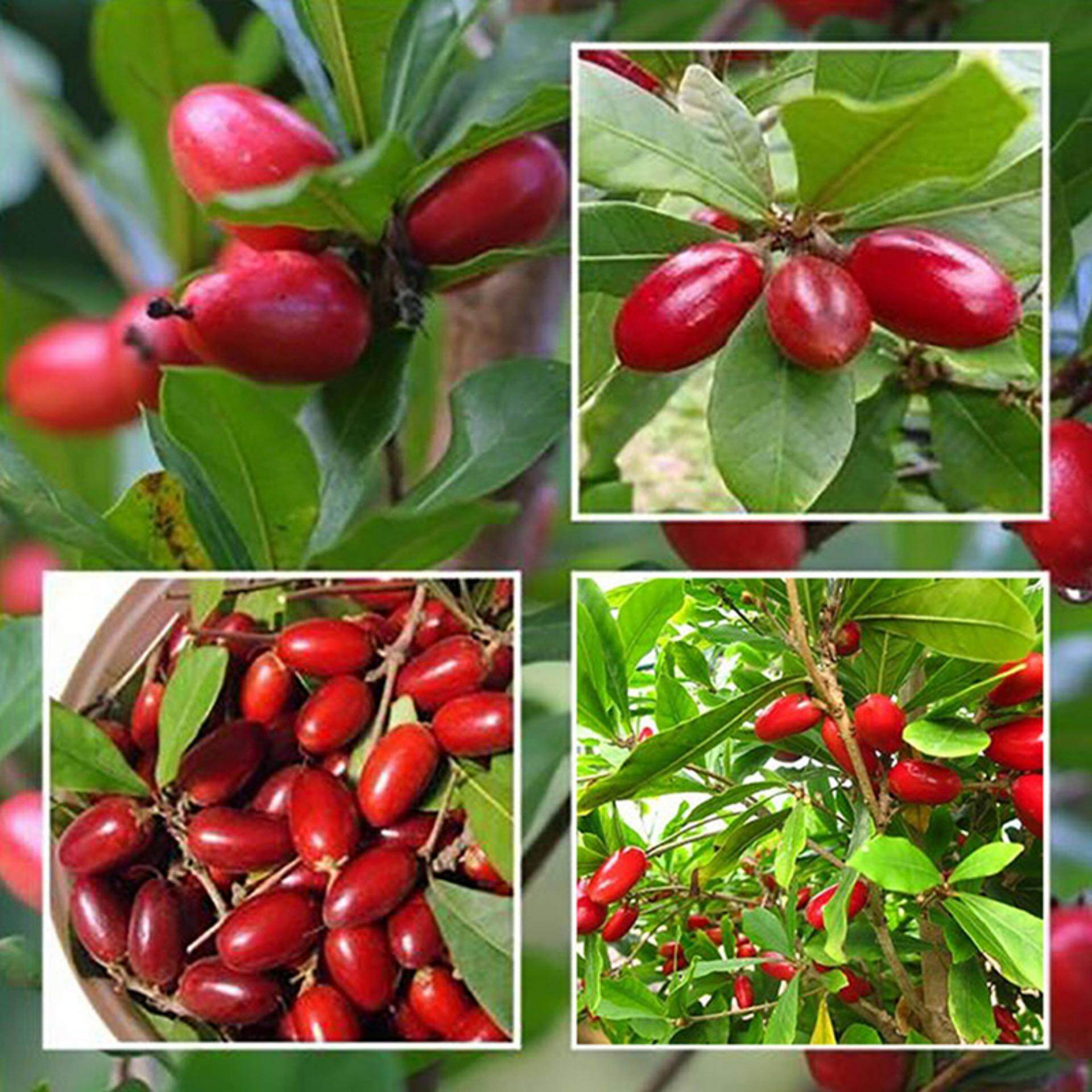 Sissi 10x miracle fruit seed synsepalum dulcificum tropical exotic berry rare seasonal