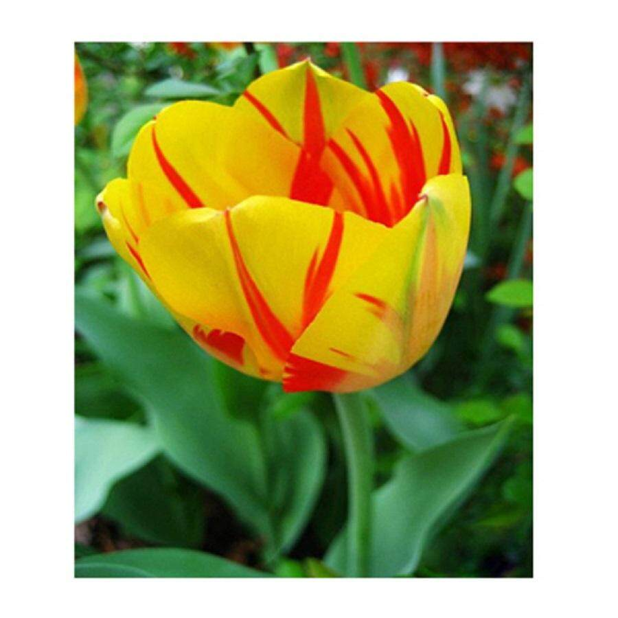 3x Yellow & Red Tulip Flower Seeds- LOCAL READY STOCKS