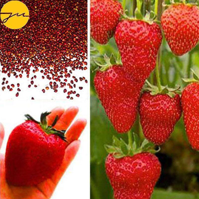 JMS Strawberry Seeds Professional 100Pcs/Pack Red Giant Plant Juicy Delicious