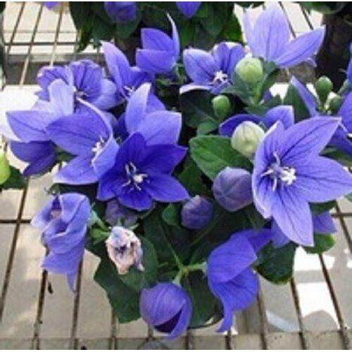 3x Platycodon grandiflorus Flower Seeds- LOCAL READY STOCKS