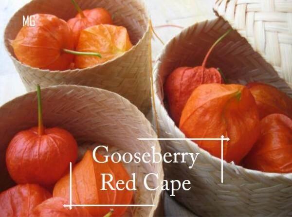 Red Cape Gooseberry seeds - 100 seed *Pot Friendly* Benih sayur sayuran Sesuai Untuk Pasu