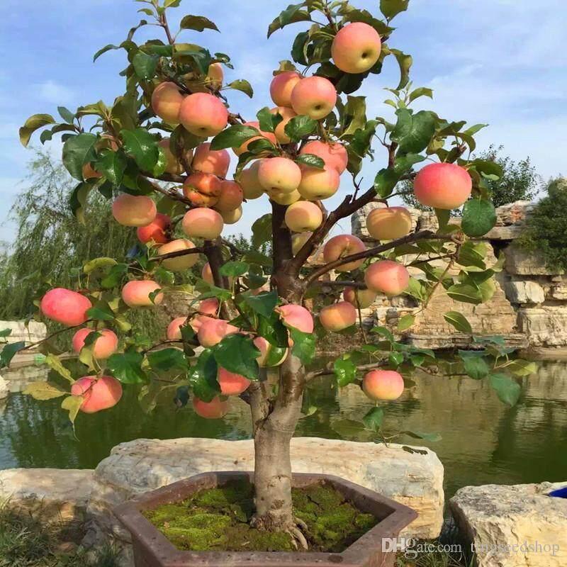 15 pcs AA PREMIUM MINI APPLE FRUIT BONSAI SEEDS,MINI APPLE TREE,California Apple