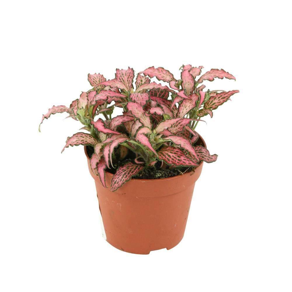 GPS Green Plant Society Fittonia Indoor Plant (Terrarium Plant )