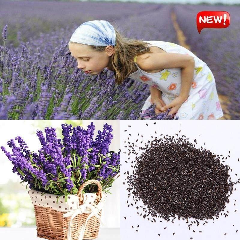 Flower Seed Plant Seed Lavender Flower Bonsai Garden Plants Pot Accessories