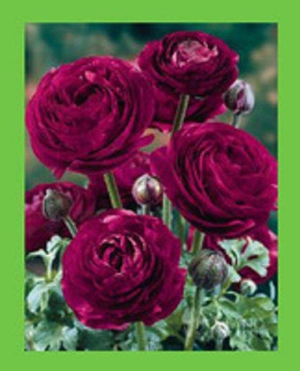 3x Red Ranunculus Flower Seeds- LOCAL READY STOCKS