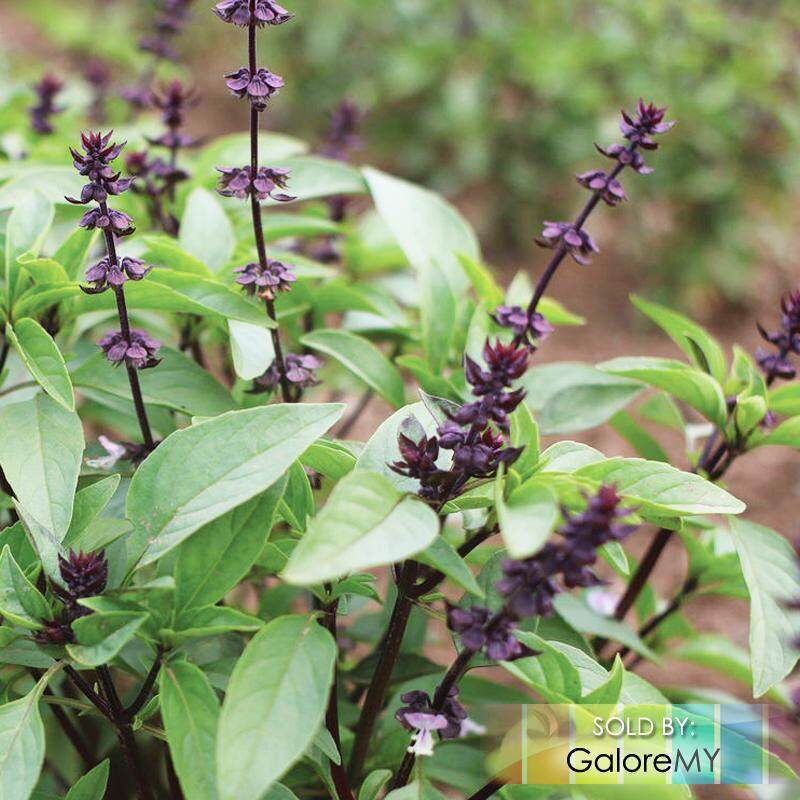 Biji Benih Bibit Tanaman Sage Herb. Source · Sweet Tropical Basil 30 seeds Daun Selasih