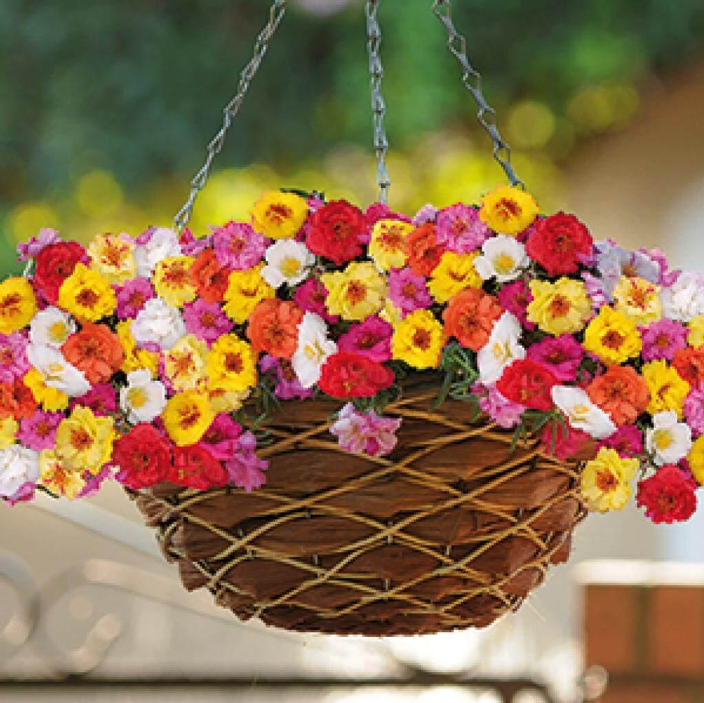 Petunia  flower seeds  biji benih bunga  benih petunia  bunga loceng