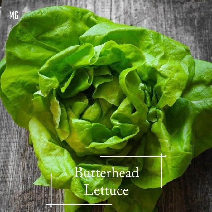 *Easy* Bibb Butter Head Lettuce seeds - 100 seed ( Palm Size )