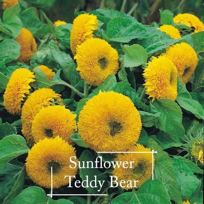 Sunflower Teddy Bear Seeds - 25 seed