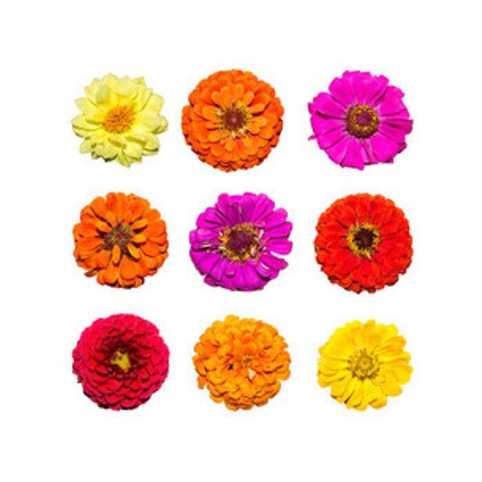 Soon Huat Zinnia Giant Mix Flower Seed