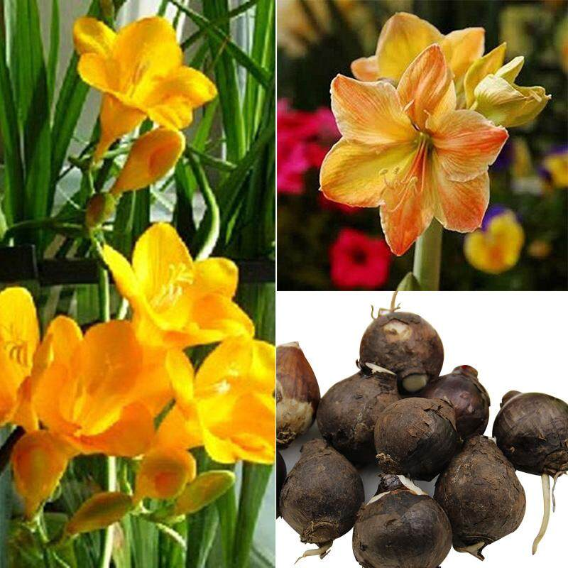 KawhiMall 3Pcs/Bag Yellow Amaryllis Hippeastrum Bulbs Seed Home Garden Decor Supply Flower