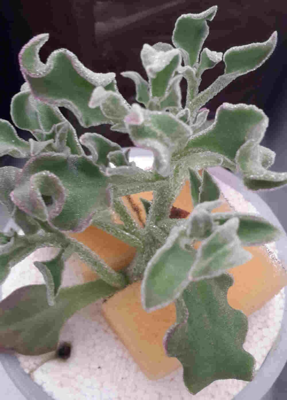 Ice Plant 冰花 (Approximately 200 Seeds)