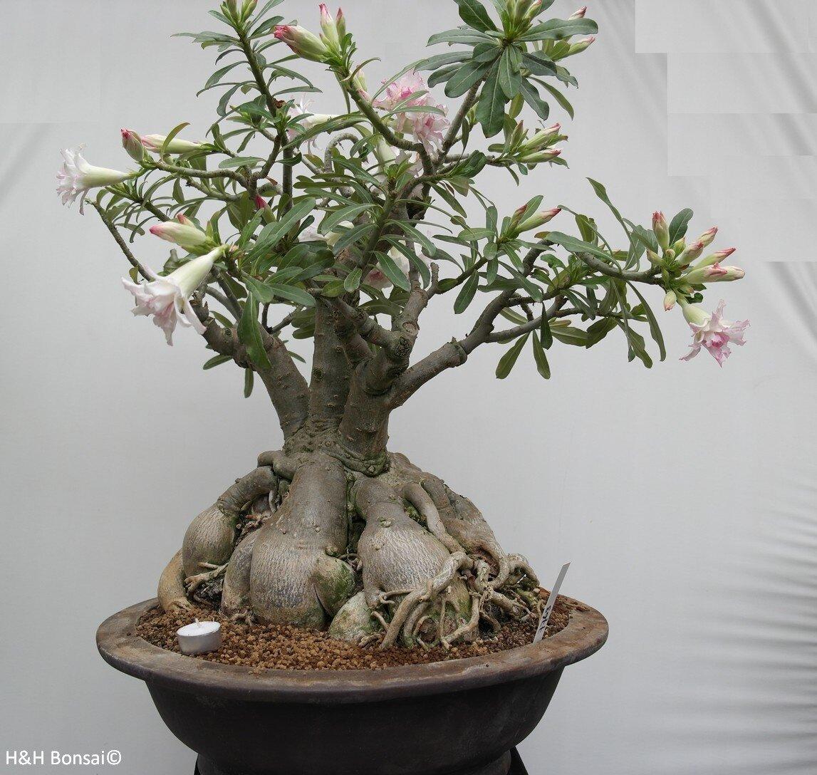 Adenium Obesum Bonsai Seeds Global Seeds 20pcs Seeds Buy Online At Best Prices In Bangladesh Daraz Com Bd