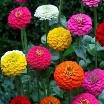 Zinnia Elegans Lilliput Mix Colour seeds - 20 seed - 2